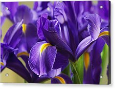 Irises, Close View, California Acrylic Print by Marc Moritsch
