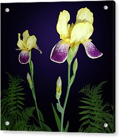 Irises In The Night Garden Acrylic Print by Tara Hutton