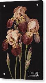 Irises Acrylic Print by Jenny Barron