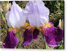 Irises Sparkling With Rain Droplets Acrylic Print