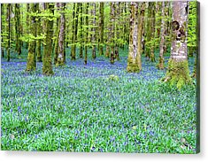 Irish Bluebell Woods - Lissadell, Sligo - New Leaves On The Trees And With A Carpet Of Blue Under Acrylic Print