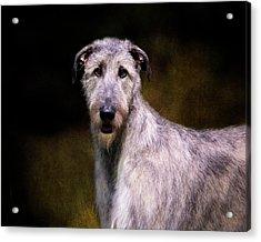 Irish Wolfhound Portrait Acrylic Print