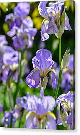 Irisses Acrylic Print