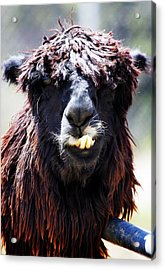 Acrylic Print featuring the photograph Is Your Mama A Llama? by Anthony Jones