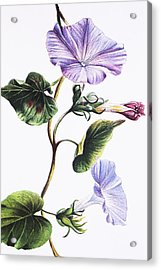 Isabella Sinclair - Pohue Acrylic Print by Hawaiian Legacy Archive - Printscapes