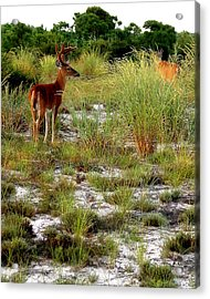 Island Deer Acrylic Print by Michael Shreves