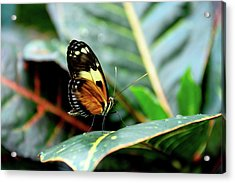 Ismenius Tiger Butterfly-2 Acrylic Print