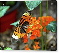 Ismenius Tiger Butterfly Acrylic Print