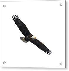 Isolated American Bald Eagle 2016-2 Acrylic Print