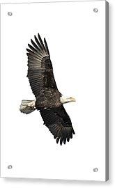 Isolated American Bald Eagle 2016-4 Acrylic Print