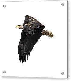 Isolated American Bald Eagle 2016-6 Acrylic Print