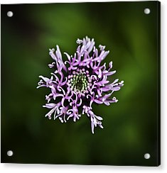 Isolated Flower Acrylic Print