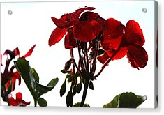 Isolated Red Geranium Acrylic Print by Karen Fowler