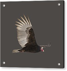 Isolated Turkey Vulture 2014-1 Acrylic Print