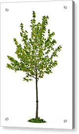 Isolated Young Maple Tree Acrylic Print