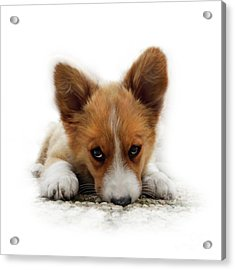 It Wasn't Me Corgi Acrylic Print