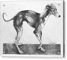 Italian Greyhound Acrylic Print by Derrick Higgins