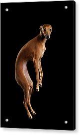 Italian Greyhound Dog Jumping, Hangs In Air, Looking Camera Isolated Acrylic Print