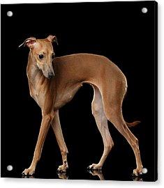 Italian Greyhound Dog Standing  Isolated Acrylic Print by Sergey Taran