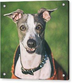 Italian Greyhound Portrait Acrylic Print by Wolf Shadow  Photography
