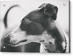Italian Greyhound Acrylic Print by Wolf Shadow  Photography