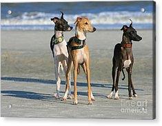 Italian Greyhounds On The Beach Acrylic Print
