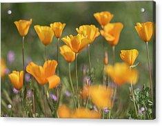 Acrylic Print featuring the photograph It's A Poppy Thing  by Saija Lehtonen