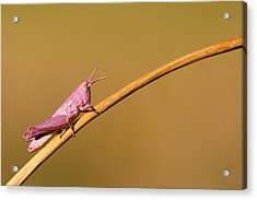 It's Not Easy Being Pink Acrylic Print