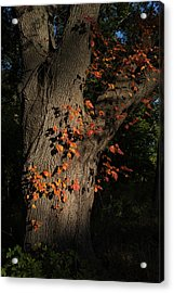 Ivy In The Fall Acrylic Print