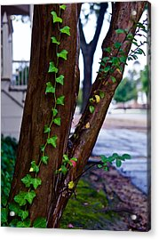 Ivy In Williamsburg Acrylic Print