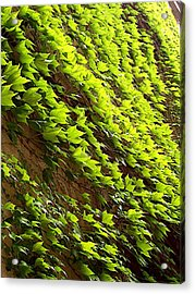 Ivy League-ivy Lines Acrylic Print by Caroline  Urbania Naeem