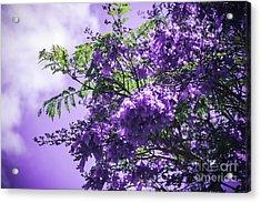 Acrylic Print featuring the photograph Jacaranda Mimosifolia Kula Maui Hawaii by Sharon Mau
