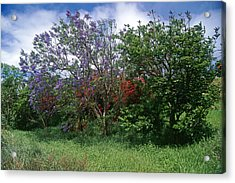 Jacarandra Tree Blooming In Maui Acrylic Print by George Oze