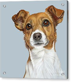 Acrylic Print featuring the drawing Jack Russell Terrier by Donna Mulley