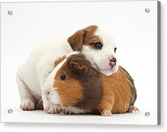 Jack Russell Terrier Puppy Guinea Pig Acrylic Print by Mark Taylor