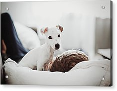 Jack Russell Terrier Puppy With His Owner Acrylic Print by Lifestyle photographer
