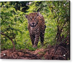 Acrylic Print featuring the photograph Jaguar      by Wade Aiken