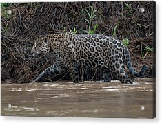 Acrylic Print featuring the photograph Jaguar In River by Wade Aiken