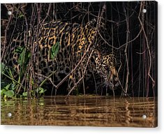 Acrylic Print featuring the photograph Jaguar In Vines by Wade Aiken
