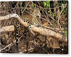 Acrylic Print featuring the photograph Jaguar In Repose by Wade Aiken