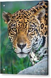 Jaguar Queen Acrylic Print