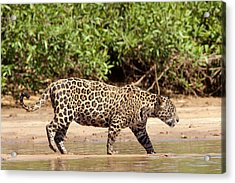 Jaguar Walking On A River Bank Acrylic Print
