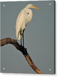 January Egret Acrylic Print