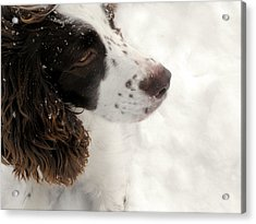 January Spaniel - English Springer Spaniel Acrylic Print