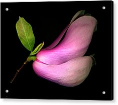 Japanese - Saucer Magnolia Acrylic Print by Roger Maynard