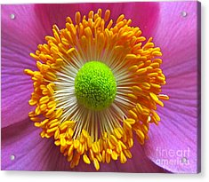 Japanese Anemone Close Up Acrylic Print