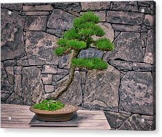 Japanese Black Pine Bonsai Acrylic Print