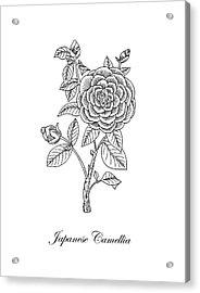 Japanese Camellia Flower Botanical Drawing  Acrylic Print