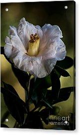 Japanese Camellia Acrylic Print
