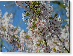 Japanese Cherry  Blossom Acrylic Print by Daniel Precht